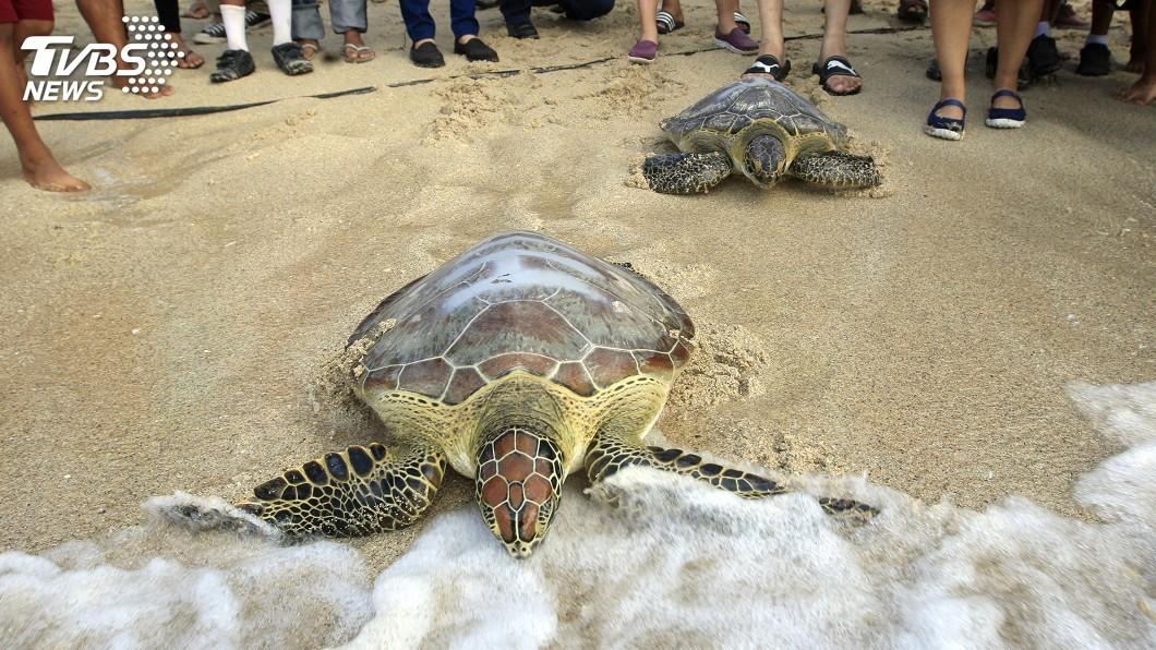 圖/達志影像美聯社 牠的命也是命! 印尼海嘯搜救救出受困海龜