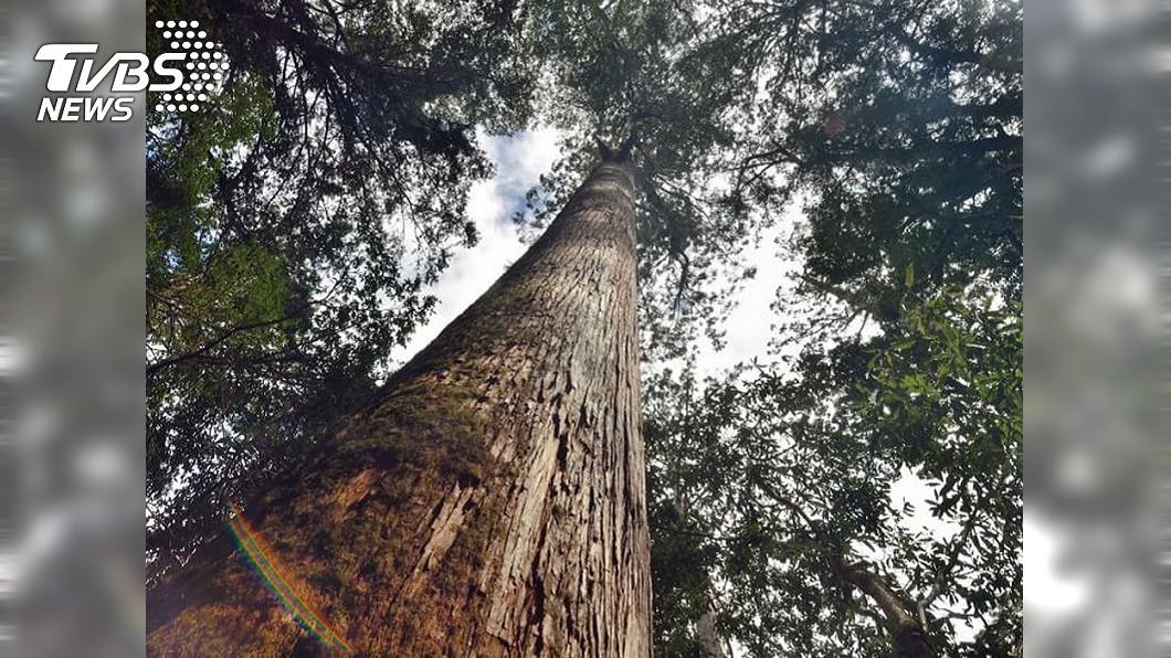 圖/TVBS 公開原始檜木林 台東林管處:關注是更好的保護