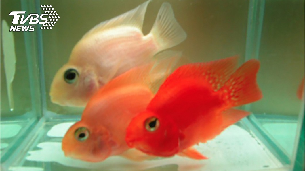 圖/中央社 這種紅色素好神奇!竟讓紅魚變白魚 可望製成美白產品