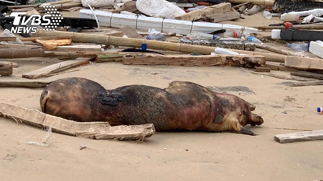 金門海漂死豬。圖/TVBS 金門海漂死豬  福建:不是故意的、已盡力了