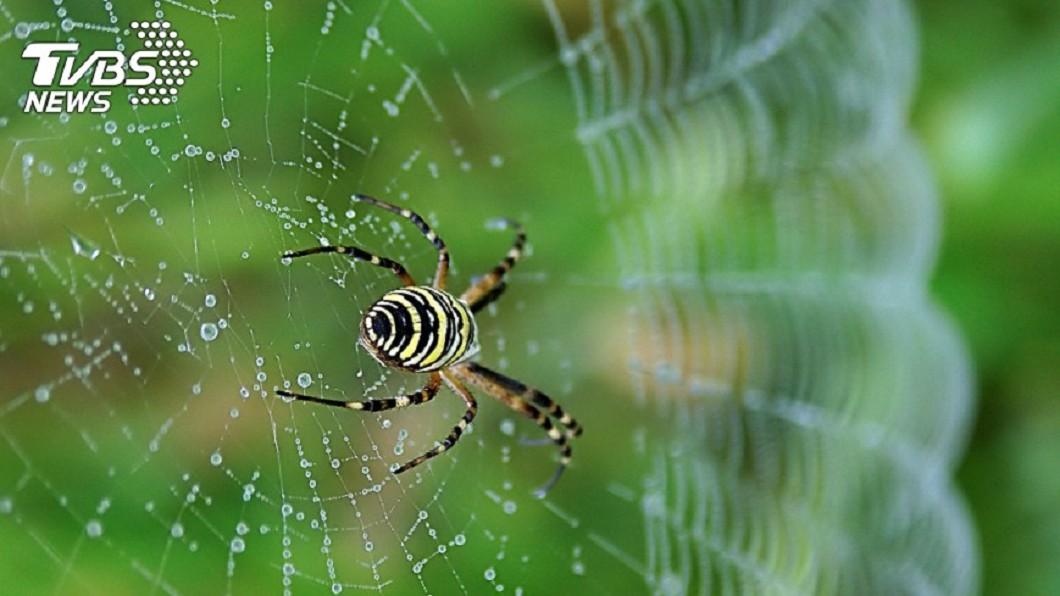 蜘蛛示意圖。圖/TVBS