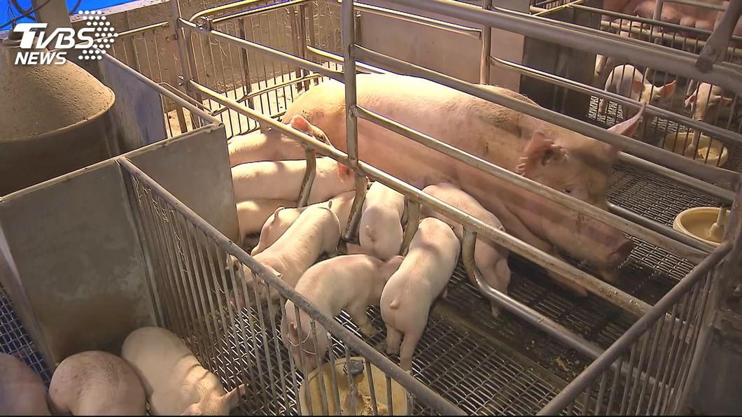 示意圖,圖/TVBS 拒簽廚餘餵豬罰單 豬農:寧可退休也不改用飼料