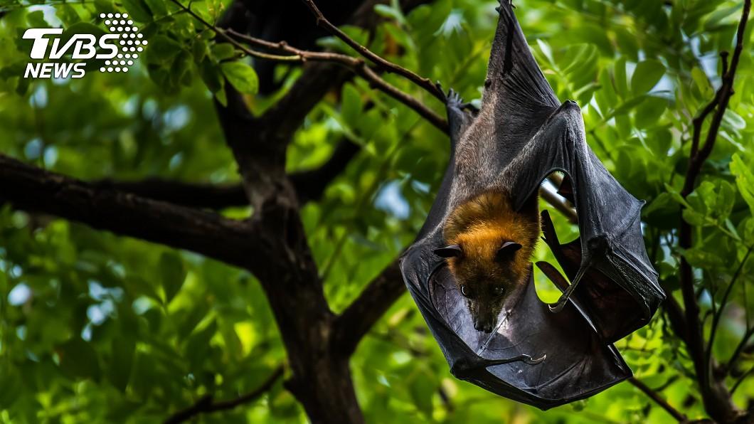 有科學家發現,大陸蝙蝠的內臟中,發現類伊波拉病毒,一旦感染這種病毒,人類在內的哺乳類動物,恐會出現嚴重性出血與器官衰竭。示意圖/TVBS 陸蝙蝠發現這病毒 感染恐造成人類「致命性出血」