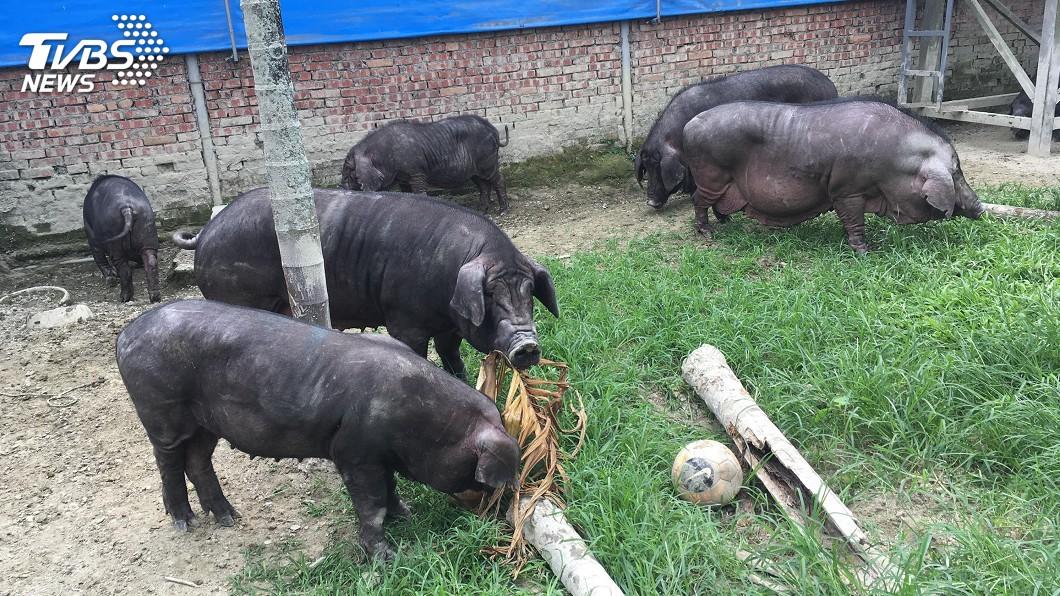 圖/中央社 雲林廚餘養豬清查撤銷許可 預計2週後完成