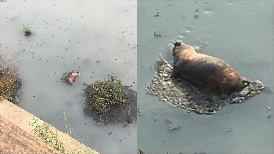 圖/翻攝自綠豆嘉義人臉書社團 嘉義市排水溝疑出現燒焦死豬? 撈起發現是狗屍