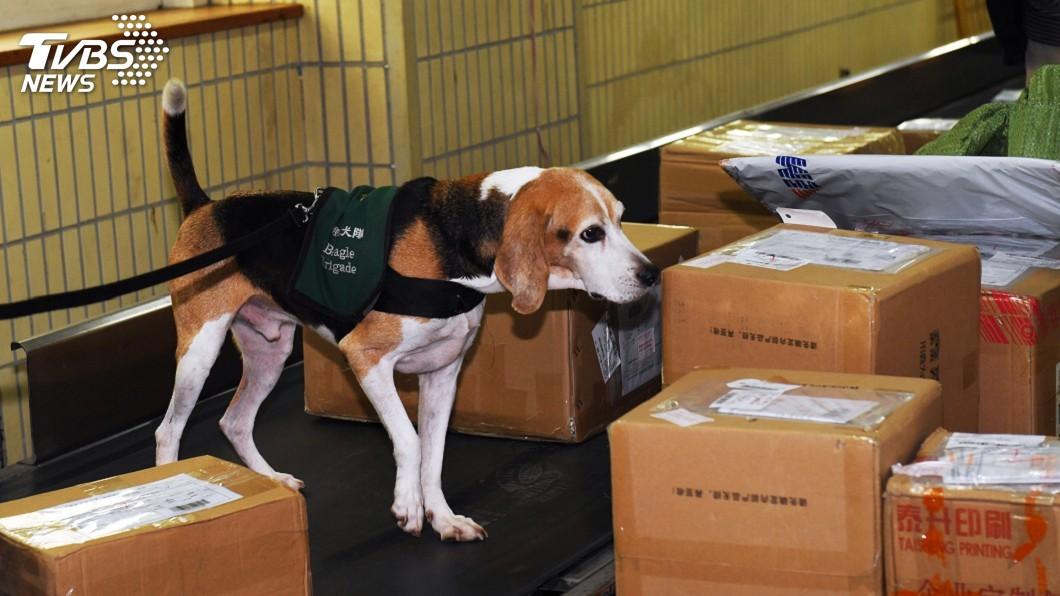 機場防疫犬努力不讓非洲豬瘟傳進台灣。圖/TVBS 防疫成效「牠」最懂!護國神犬聞不到肉味「沒幹勁」