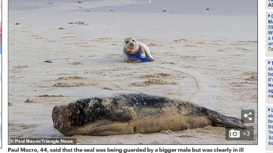 被魚網纏脖的小海豹身邊,有一隻體型更大的海豹已經身亡。圖/翻攝自每日郵報