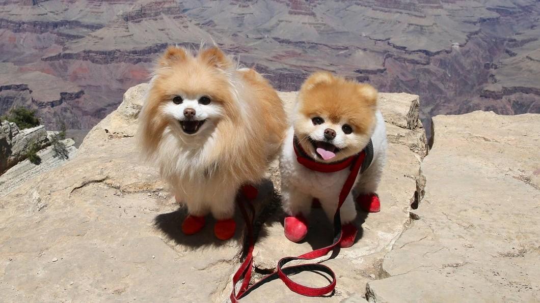 Boo(右)和Buddy(左)在世前相當要好。(圖/翻攝自Boo臉書) 全球最可愛的狗...睡夢中逝 飼主淚:會一直想念你