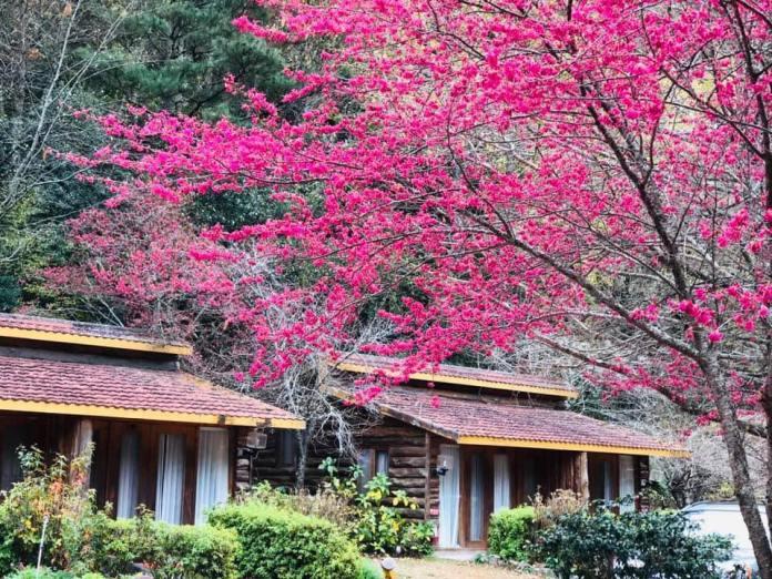 武陵農場櫻花-山櫻花盛開。圖/翻攝自Tripbaa趣吧!亞洲自由行專家