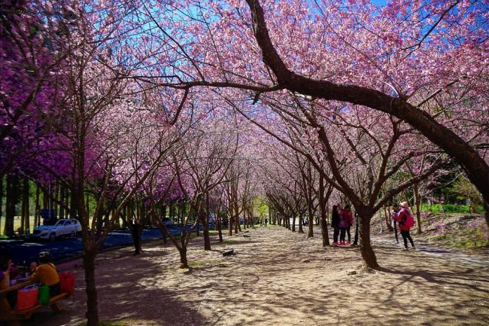 武陵農場櫻花季-賞櫻步道。圖/翻攝自Tripbaa趣吧!亞洲自由行專家