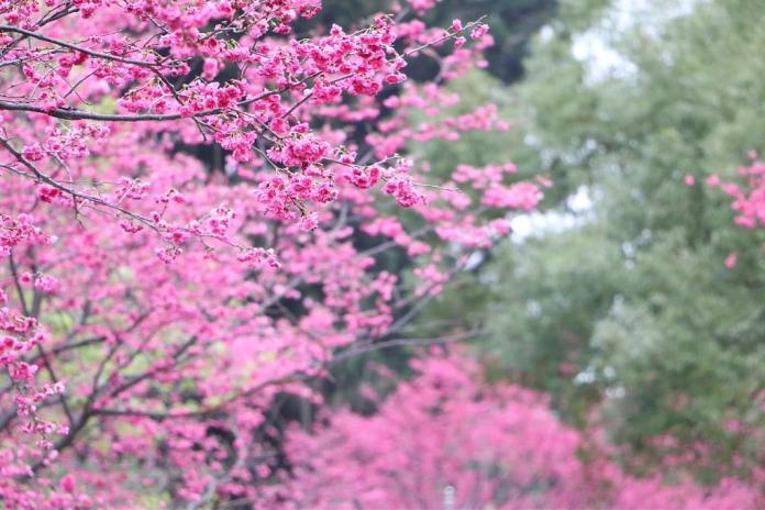 武陵櫻花季-山櫻花。圖/翻攝自Tripbaa趣吧!亞洲自由行專家