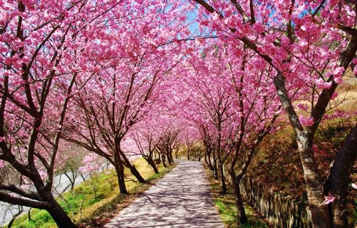 武陵櫻花季-櫻花步道。圖/翻攝自Tripbaa趣吧!亞洲自由行專家