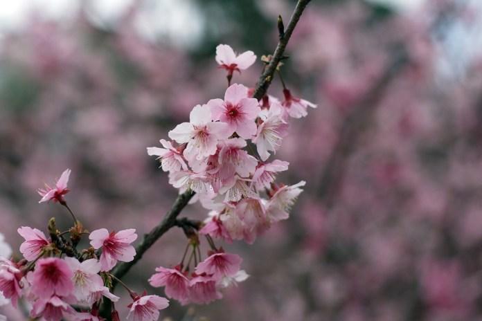 農曆春節台灣賞櫻景點-烏來櫻花。圖/翻攝自Tripbaa趣吧!亞洲自由行專家