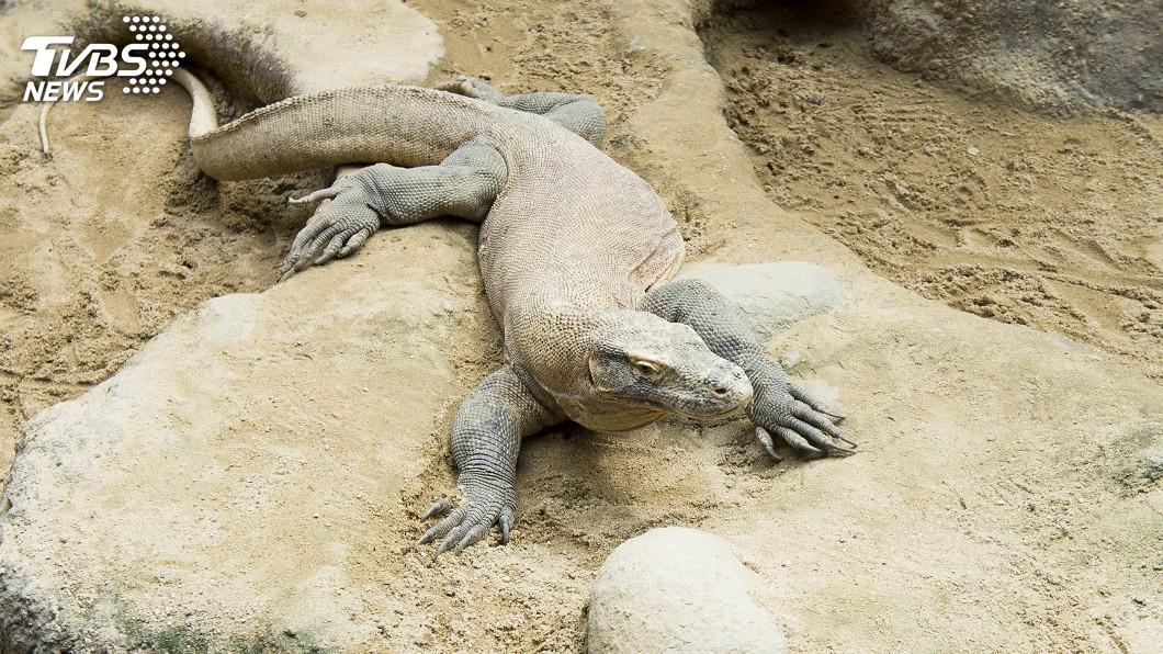 圖/達志影像美聯社 科莫多龍吃不飽 印尼關閉國家公園一年