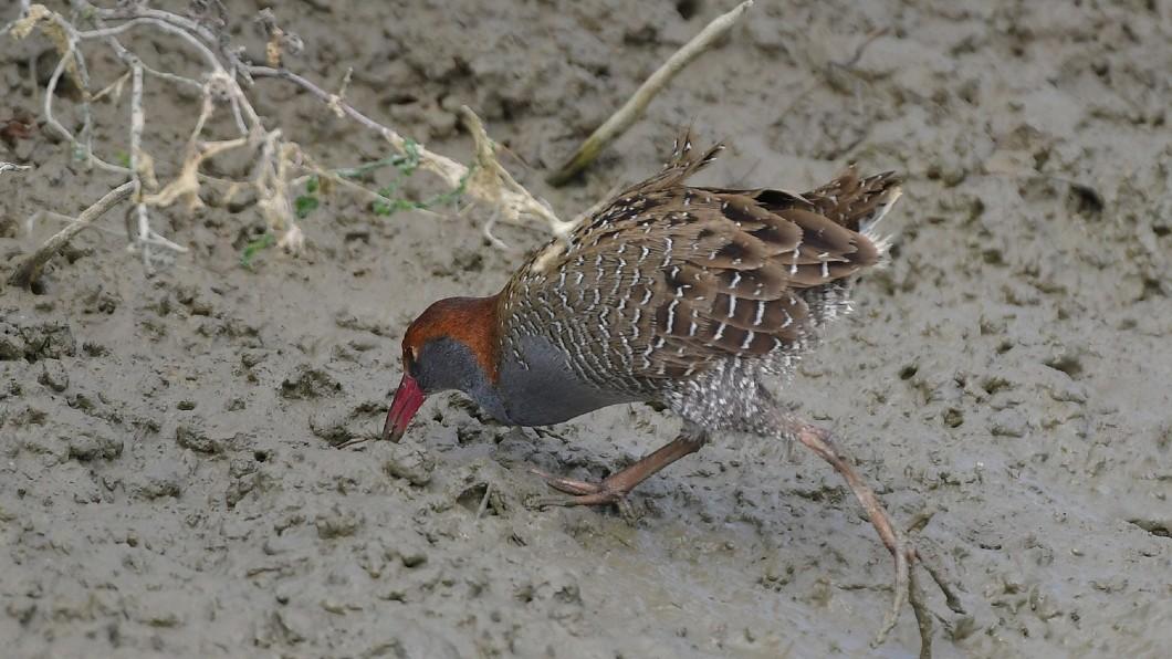 去年5月左右消失的保育鳥類灰胸秧雞,也再度現蹤,被鳥友拍攝到。 圖/台南市生態保育學會提供