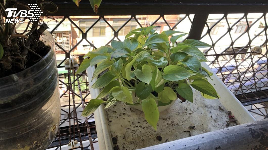 圖/中央社 居家種闊葉盆栽可降PM2.5 但夏季須注意臭氧濃度