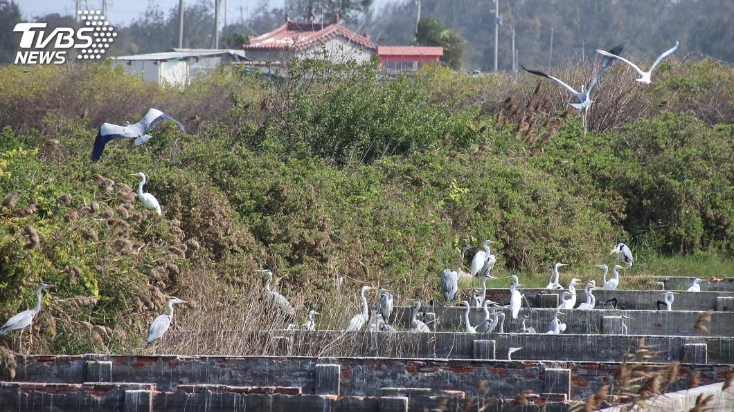 圖/中央社 嘉義沿海鳥況豐富 鴨雁鷗鷺群聚覓食
