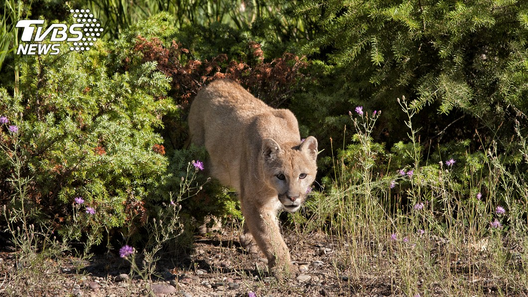 男子慢跑時遭美洲獅襲擊。示意圖/TVBS 慢跑遭美洲獅襲擊 男竟徒手反抗直接掐死