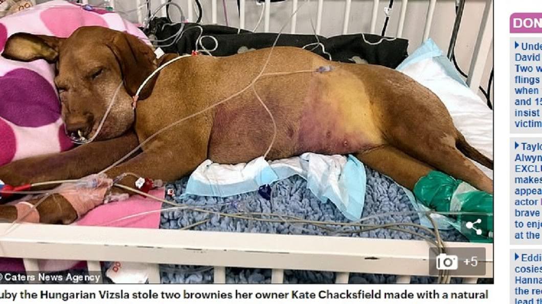 圖/翻攝自《每日郵報》 偷咬木糖醇蛋糕中毒亡 她痛心拍下愛犬臨終照
