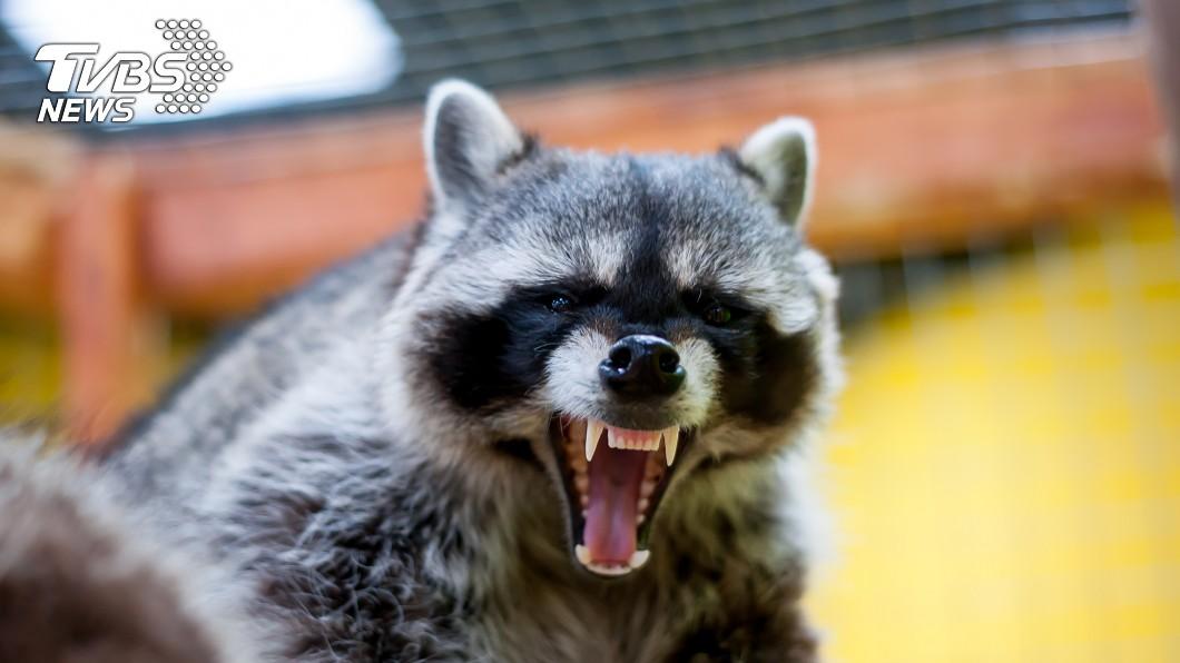 示意圖/TVBS 爬山遭發瘋浣熊狂咬 愛犬護主直接咬死