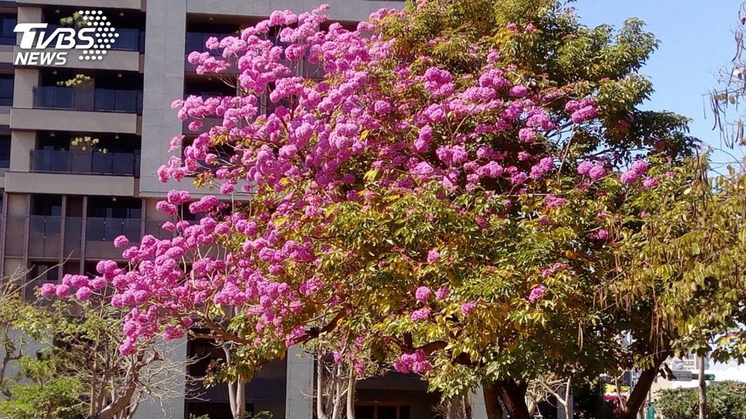 圖/中央社 暖冬樹木提前開花 中市公園可追花賞樹