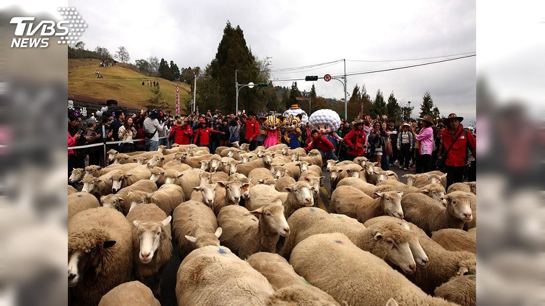 圖/中央社 108頭綿羊清境逛大街2公里 上千遊客搶拍