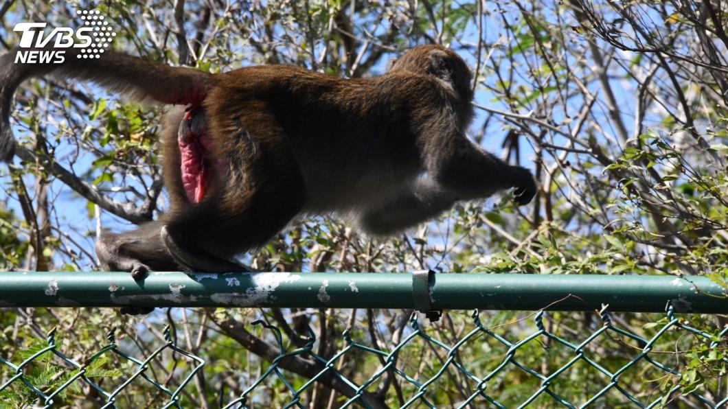 獼猴精明又敏捷。圖/TVBS