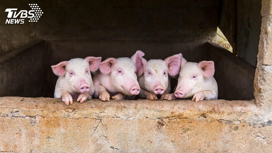 示意圖/TVBS 越南非洲豬瘟疫情 42省市淪陷撲殺170萬頭豬