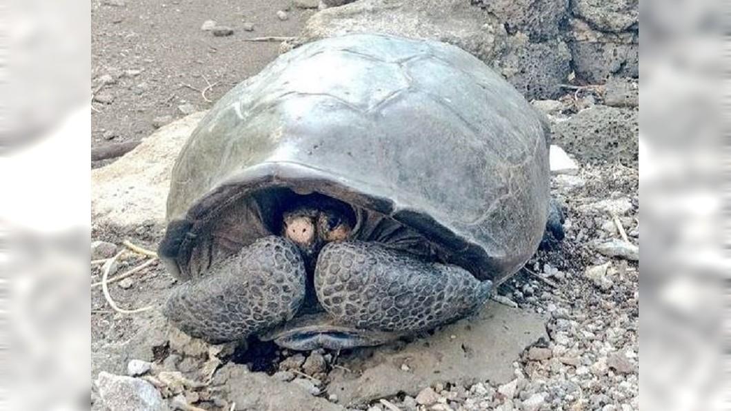 厄瓜多爾外海的加拉巴哥群島上,發現已絕種100多年的費南迪那陸龜。圖/翻攝自《鏡報》 絕種100年再度現身! 科學家發現粉紅「正妹陸龜」