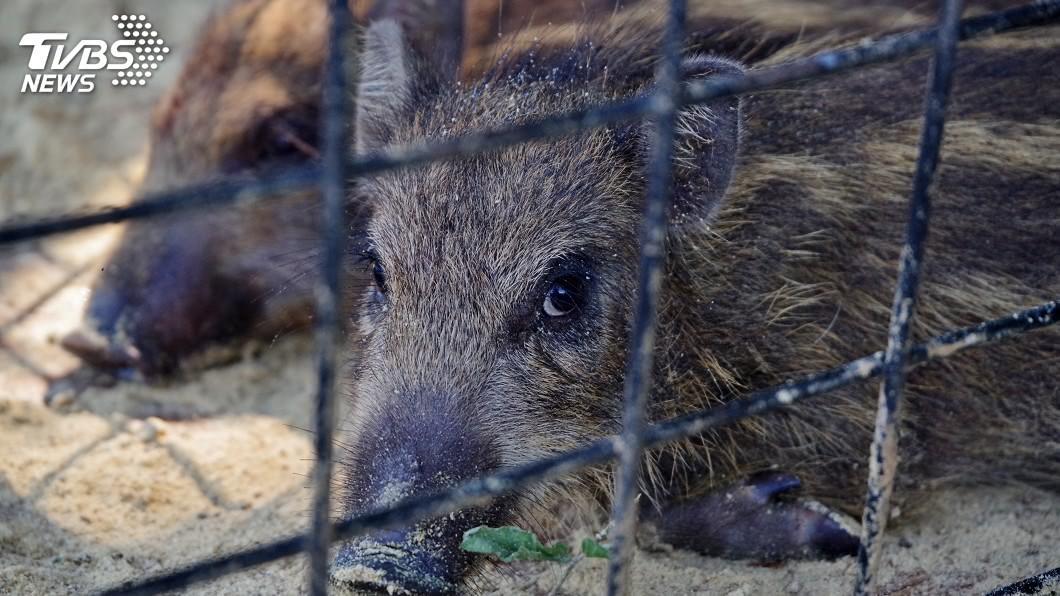 (示意圖/shutterstock 達志影像) 德國又見野豬染非洲豬瘟 9月至今累計近50例