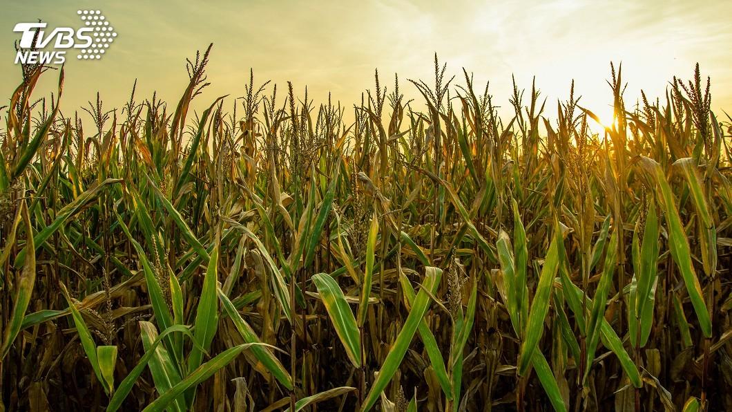 非洲豬瘟加貿易戰 中國玉米產業受衝擊