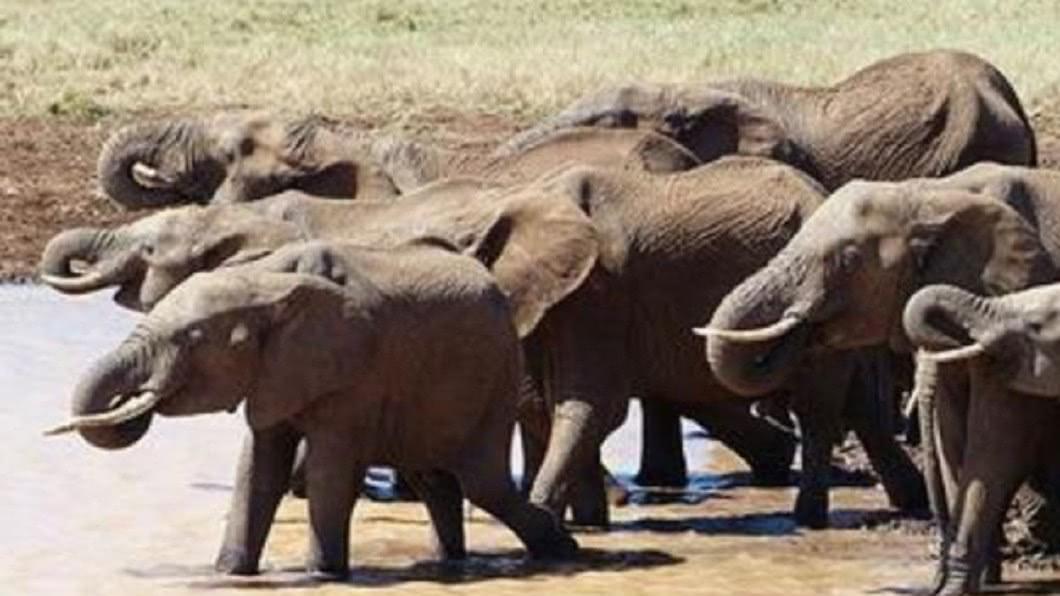 波札那境內的大象數量眾多,對當地的生態系造成負荷。圖/翻攝自臉書Elephants Without Borders 數量太多!這國家恐開放「獵象做罐頭」 掀正反論戰