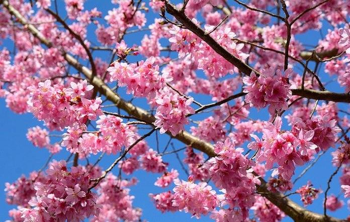 亞洲櫻花季景點-武陵櫻花季。圖/翻攝自Tripbaa趣吧!亞洲自由行專家