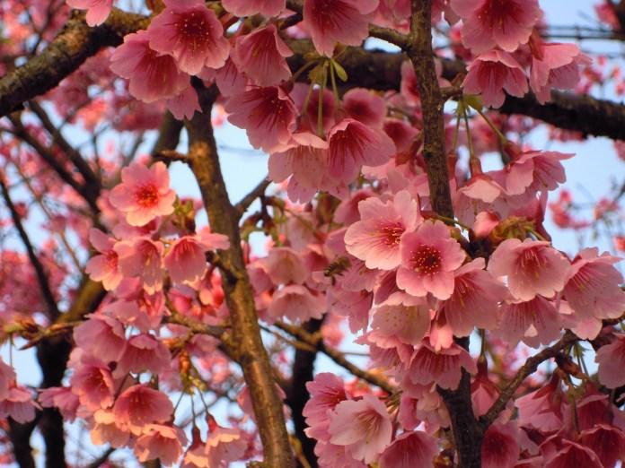 亞洲櫻花季景點-陽明山櫻花。圖/翻攝自Tripbaa趣吧!亞洲自由行專家