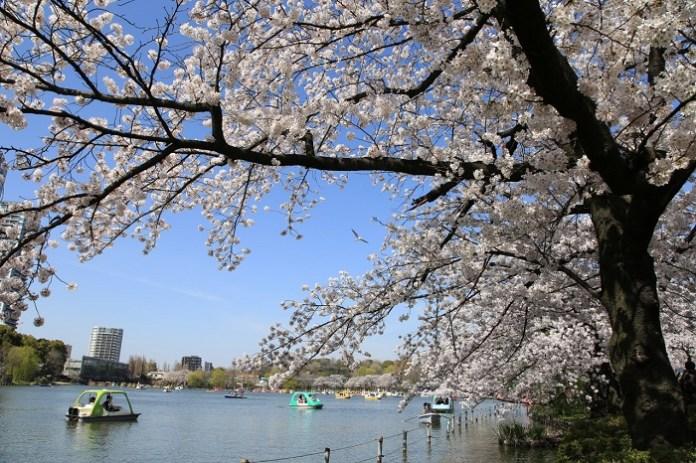 亞洲櫻花季景點-上野公園。圖/翻攝自Tripbaa趣吧!亞洲自由行專家