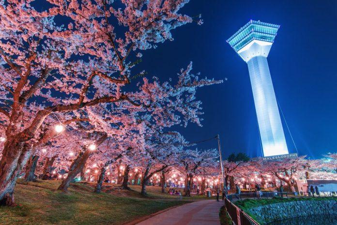 亞洲櫻花季景點-日本函館五陵郭公園。 圖/翻攝自Tripbaa趣吧!亞洲自由行專家