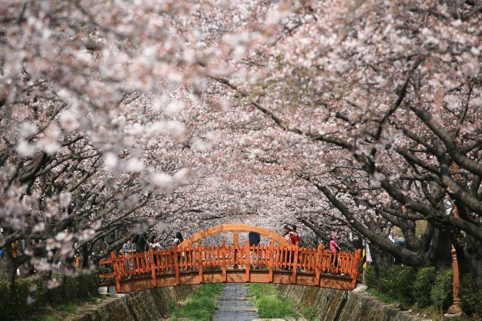 亞洲櫻花季景點-鎮海櫻花季。  圖/翻攝自Tripbaa趣吧!亞洲自由行專家