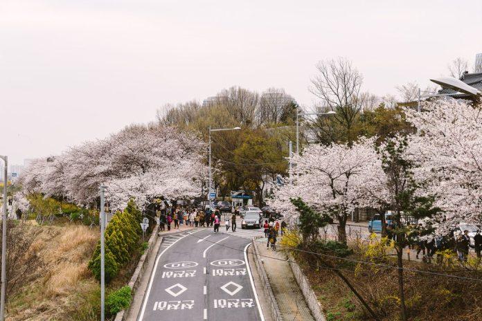 亞洲櫻花季景點-首爾汝矣島。圖/翻攝自Tripbaa趣吧!亞洲自由行專家