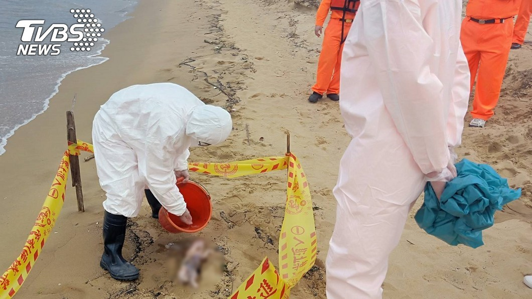 圖/TVBS 福隆沙灘驚見死豬 新北防疫帶回檢驗