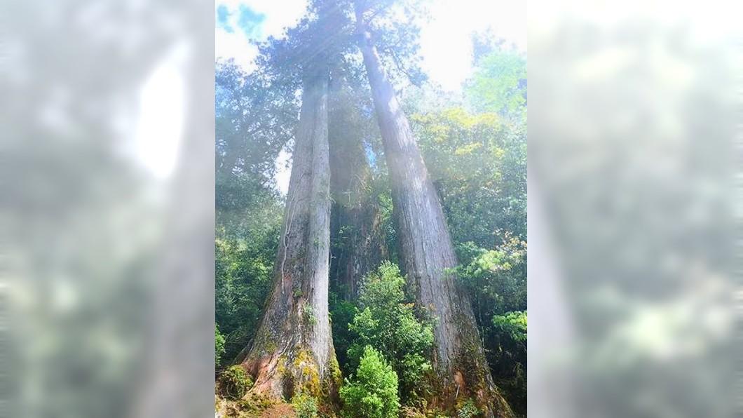 圖非遭盜伐現場。圖/翻攝馬告生態園區臉書 山老鼠強摘樹瘤 千年林木被「開膛剖腹」全毀了