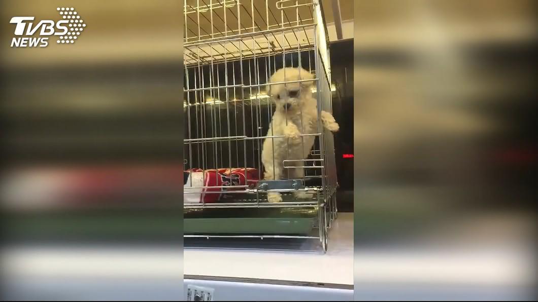 圖/TVBS 幼犬買回家6天過世! 飼主控店家「以拖待變」