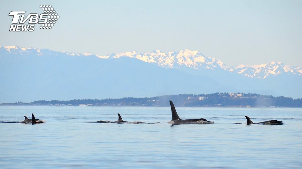 殺人鯨屬於群居性動物,會一起獵食、一起玩樂。示意圖,圖/TVBS 隔著魚網哭!殺人鯨受虐表演33年憂鬱病逝