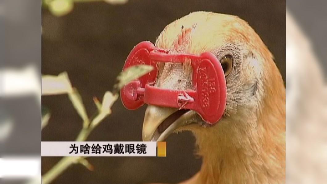 「雞眼鏡」會擋住雞隻正面的視線。圖/翻攝自微博