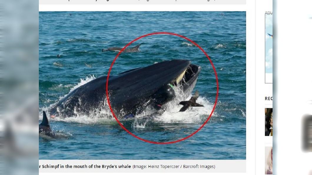 潛水員上半身遭鯨魚含在嘴裡,只露出臀部與雙腿在外。圖/翻攝自《鏡報》 潛水到一半「畫面漆黑」…他險被鯨魚吞肚:靠本能求生