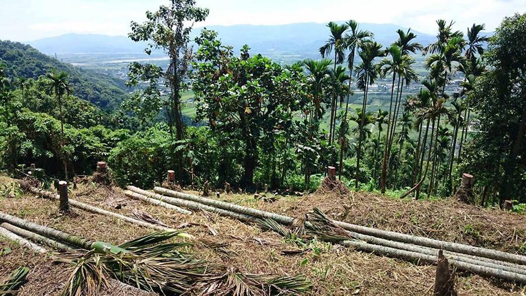 圖/民眾提供 農民怨砍檳榔樹 花蓮林管處指依法輔導剷除