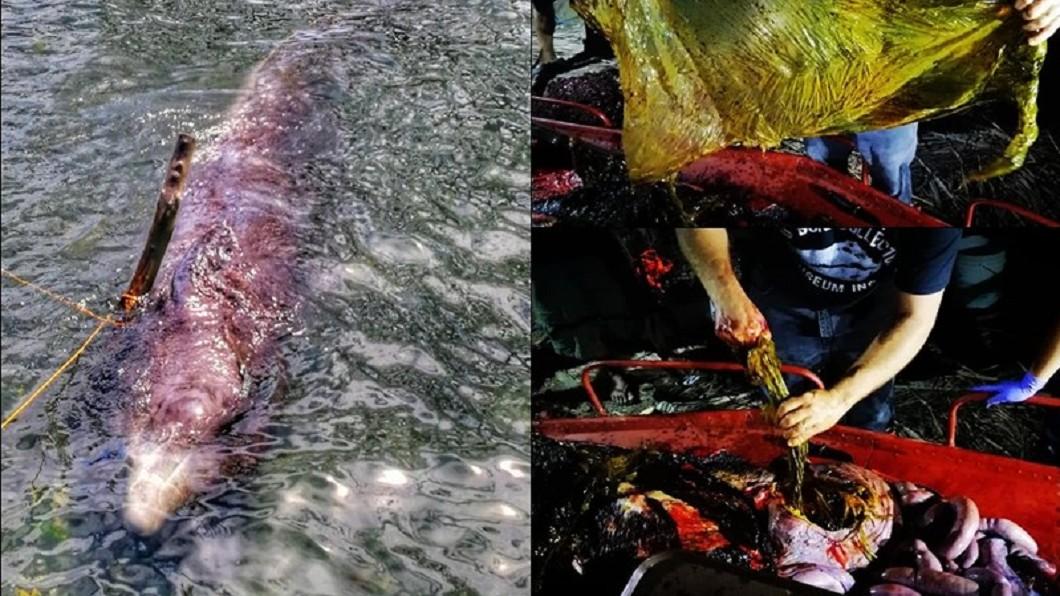 一頭年輕雄性柯氏喙鯨15日在菲律賓南部海岸擱淺,「大骨收集者」博物館人員將鯨帶回解剖,發現牠的胃裡有40公斤的塑膠袋。/翻攝自大骨收集者臉書 40kg塑膠袋塞爆胃袋!鯨魚擱淺脫水...活活吐血亡