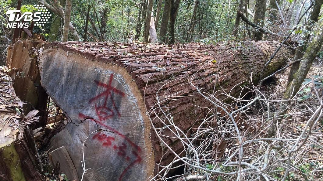 圖/中央社 林務局公布5大山老鼠樣態 竊取樹頭殘材最多