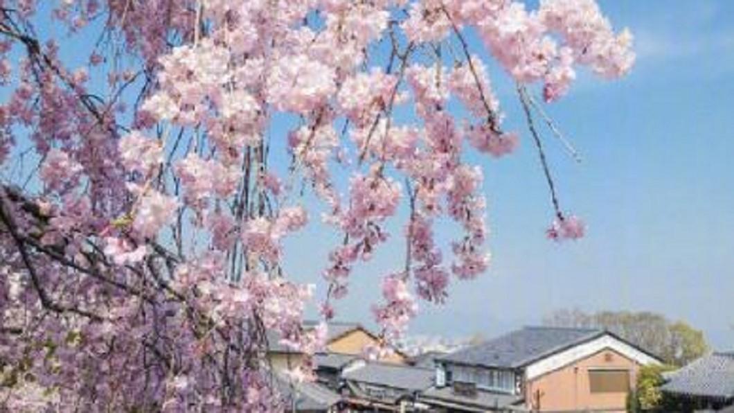 圖/翻攝自鼓楼微讯 微博 日本正值櫻花季 街頭瀰漫浪漫氣息