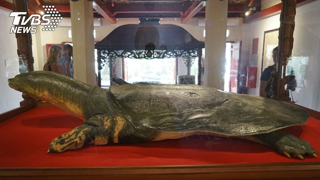 圖/達志影像美聯社 全球剩3隻!越南120歲巨鱉 死後待遇「遠超毛澤東」