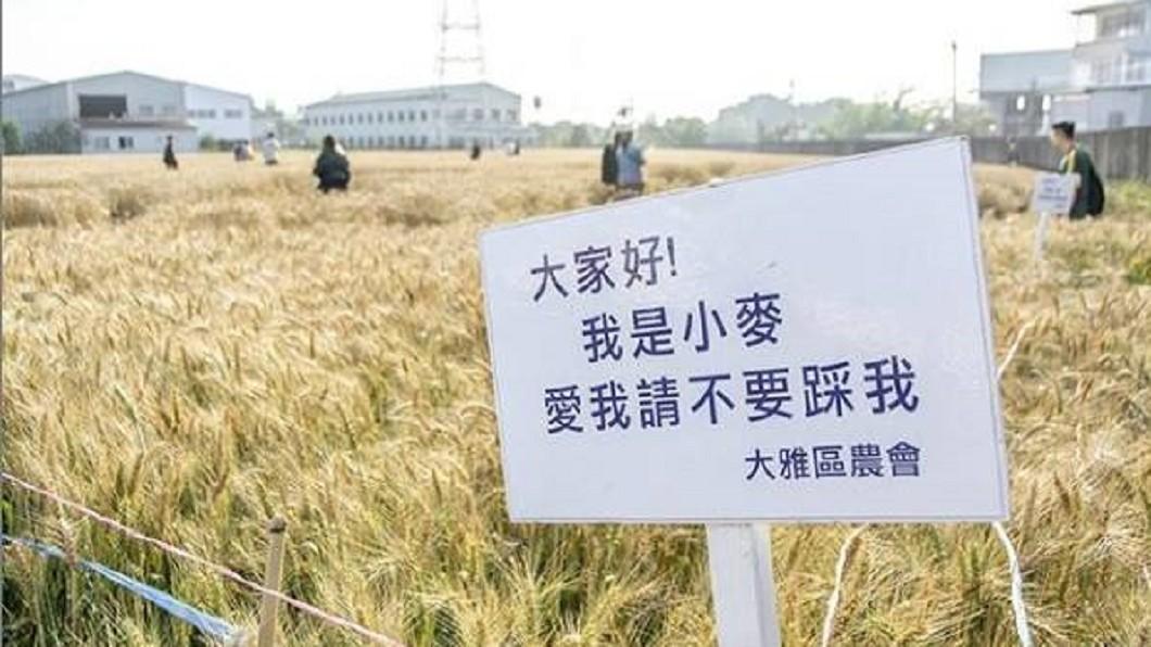 農會在麥田旁設置告示牌,仍有民眾踩入拍照。圖/翻攝自《爆料公社》 直接無視告示牌!網美踐踏黃金麥田拍照 大雅人怒了